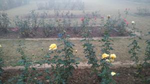 जाकिर हुसैन रोज गार्डन , चंडीगढ़   चित्र: ऐश्वर्य मोहन गहराना